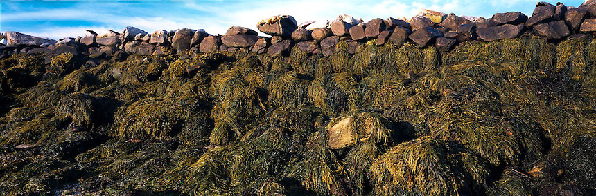 Rockweed covers the side of an ancient wharf, Smuttynose Island, Isles of Shoals.