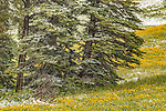 July snow-covered trees and meadow in Yellowstone National Park