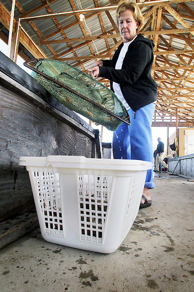 Kim Ipock fills a basket with fresh prawns to be taken to market from a holding tank at the Carolina's 'Best' Freshwater Prawn Farm near Vanceboro, North Carolina.