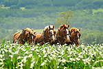 Four team Belgian horses cultivating corn. Nippenose Valley, PA.