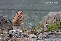 0623-1003  Northern (Woodland) White-tailed Deer, Odocoileus virginianus borealis  © David Kuhn/Dwight Kuhn Photography