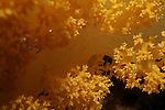 Orange spiky soft coral (Dendronephthya), Bocifushi Wreck, South Male Atoll, Maldives.