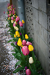 Tulips in a small alley in Sapporo whit a carpet on cherry blossoms.
