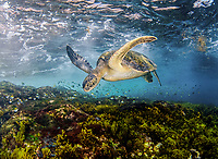Green Sea Turtle, Chelonia mydas, foraging in the shallows, Mexico, Gulf of California, Sea of Cortez, Pacific Ocean