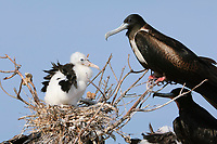Adult female Magnificent Frigatebird (Fregata magnificens) and chick at nest. Dry Tortugas NP, Florida. March.