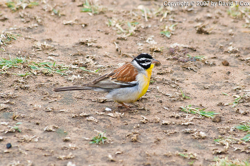 Golden-breasted Bunting, Hluhluwe-Umfolozi NP, SA