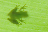 Emerald Glass Frog, Centrolene prosoblepon, silhouette of adult on banana leaf, Central Pacific Coast, Costa Rica, Central America