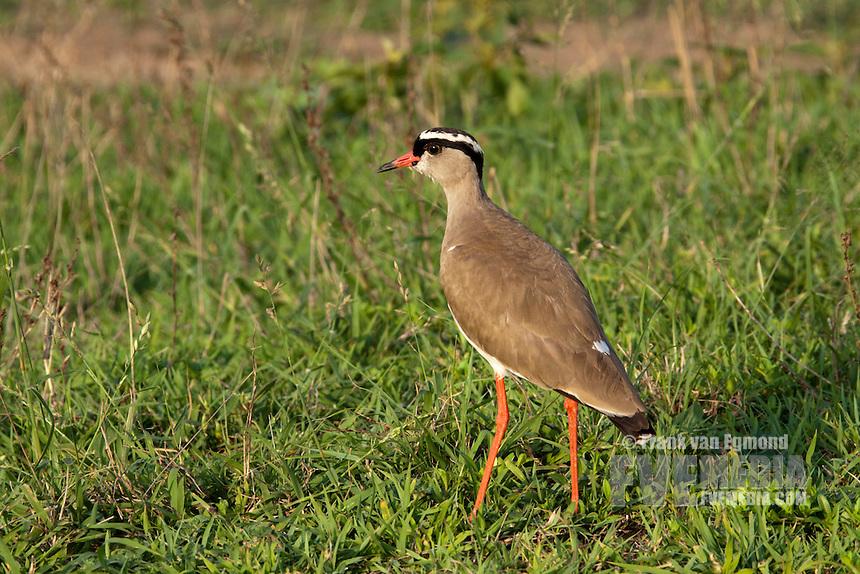 Crowned Lapwing (Vanellus Coronatus)...Hluhluwe Imfolozi Game Reserve..Kwazulu-Natal, South Africa..November 2010.