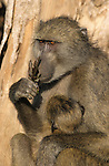 Chacma baboon, Papio cynocephalus ursinus, with young, Kruger national park, South Africa