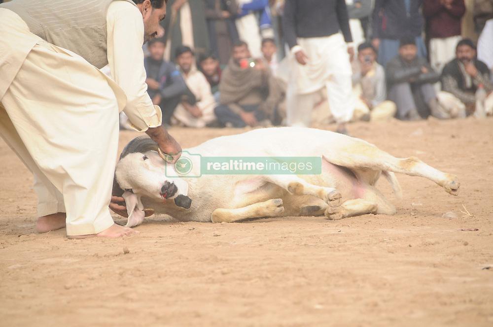 Pakistan: Celebrate Annual Sheep Fight Festival | RealTime