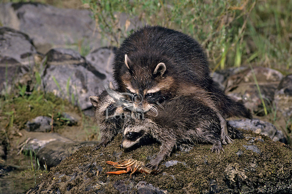 Raccoon (Procyon lotor) mother and young with crayfish she has just caught.  Western U.S.