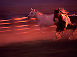 A white horse and pinto running in a purple dusty sunset in Western United States