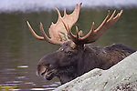 Bull Moose in Sandy Stream Pond