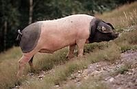 Europe/France/Aquitaine/64/Pyrénées-Atlantiques/Les Aldudes: Elevage de porcs basques de Pierre Oteiza dans la vallée des Aldudes