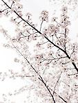 Artistic closeup of cherry blossom over bright white sky. Kyoto, Japan.