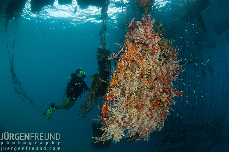 Sample of marine growth if nets are not cleaned. Diver observes. Growth of tunicates, sponges ang soft corals show healthy ocean waters encourage marine life to grow profusely.