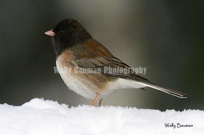 Birds of North America, dark-eyed junco, northern Rockies junco, junco hyemalis,