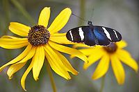 Small Blue Grecian (Heleconius sara) on Black Eyed Susan flower. Portland Oregon Zoo