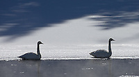 Trumpeter swans hang out along the Yellowstone River.