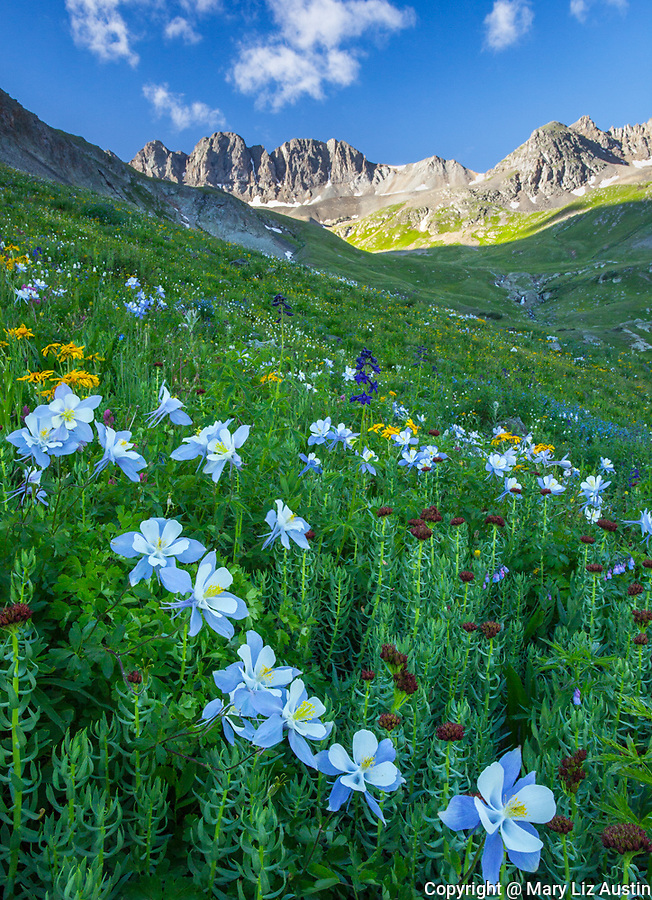 San Juan Mountains, CO<br /> American Basin with Colorado columbine (Aquilegia coerulea) and king's crown (Rhodiola integrifolia) in wildflower meadows beneath Handies Peak