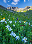San Juan Mountains, CO<br /> American Basin with Colorado columbine (Aquilegia coerulea) and king's crown (Rhodiola integrifolia) in wildflower meadows beneath Handies Peak