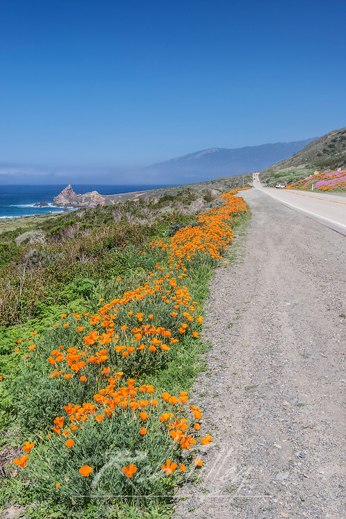 USA, California, near Big Sur, California Poppies, Along Highway 1