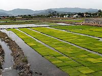 Reissetzlinge bei Gyeongju, Provinz Gyeongsangbuk-do, S&uuml;dkorea, Asien<br /> rice saplings, Gyeongju,  province Gyeongsangbuk-do, South Korea, Asia