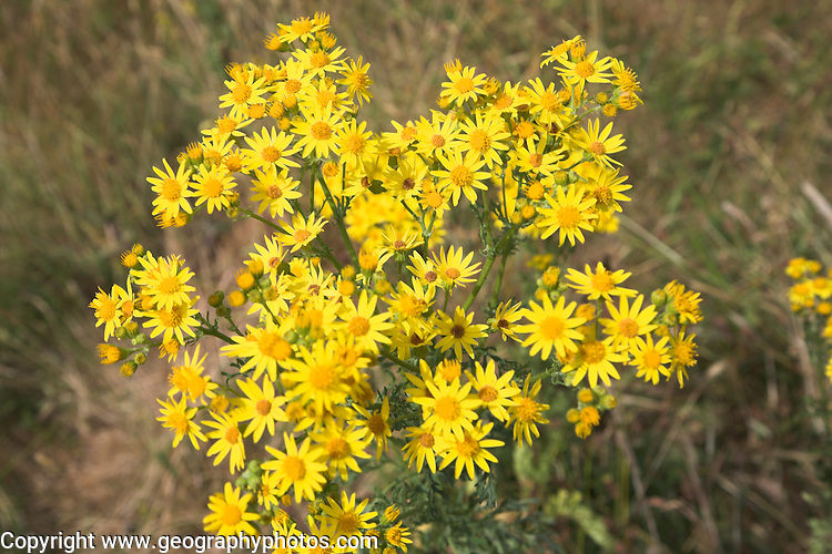 Yellow flowers of Common Ragwort, Senecio jacobaea, on heathland, Suffolk Sandlings, England