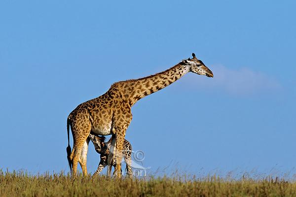 Masai Giraffe (Giraffa camelopardalis) mother nursing young calf (giraffes usually have only one calf).   East Africa.
