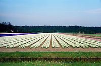 Flower fields around Bloemendaal (Netherlands, 11/04/1991)