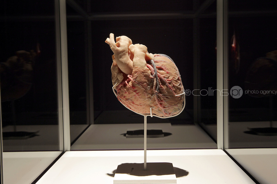 NO FEE PICTURES.1/2/12 at the opening of The Human Body Exhibition—an all new exhibition featuring more than 200 full and partial real human body specimens, makes its world debut at The Ambassador Theatre this Spring. This incredible exhibition showcases carefully dissected specimens to provide a window into the miraculous way the body functions and gives visitors the opportunity to see exactly what lies beneath their skin. The Human Body Exhibition today Thursday 02 February, 2012 at The Ambassador Theatre for a limited engagement. Picture:Arthur Carron/Collins
