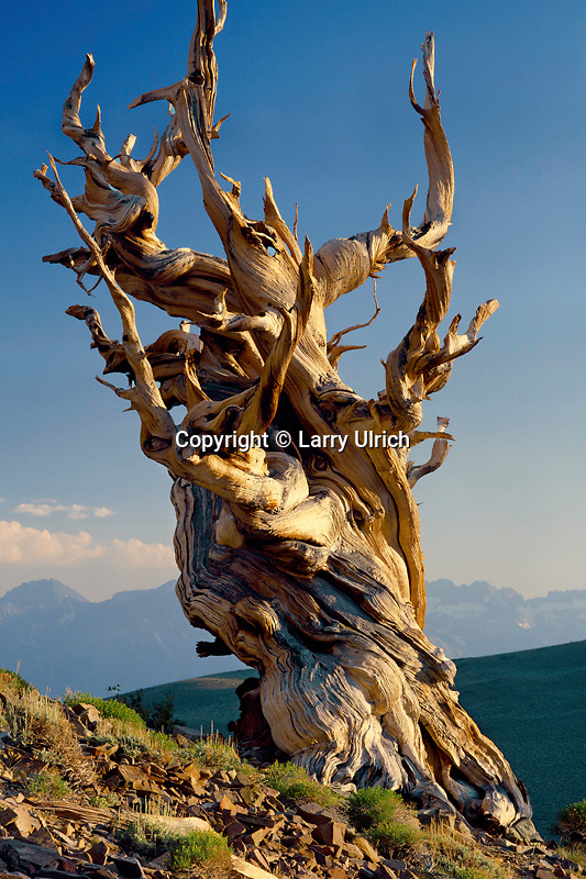 Bristlecone pine snag<br />