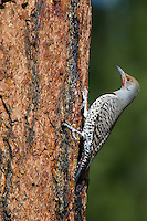 Northern Flicker or Red-shafted Flicker (Colaptes auratus) feeding on sap (and possibly insects attracted by sap) on side of ponderosa pine.  Western U.S., fall.