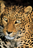 654309027 a captive wildlife rescue african leopard poses for a portrait at a wildlife rescue facility - species is native to africa and is endangered in the wild