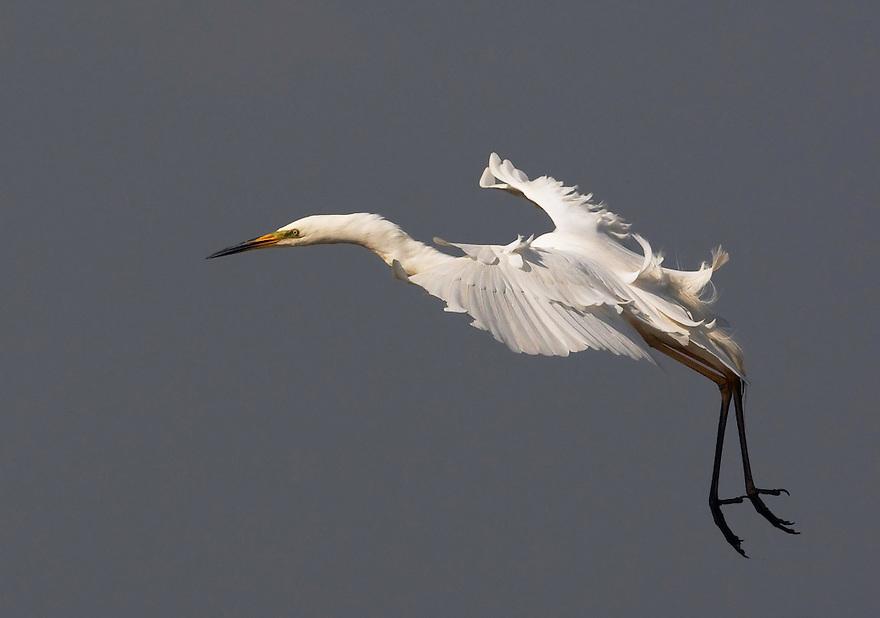 Great  Egret (Egretta alba) Pusztaszer Nature Reserve, Hungary