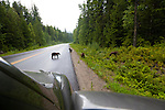 Black bears and their cubs line the roads through Wells Gray Provincial Park.