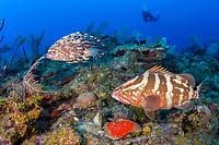 Nassau grouper, Epinephelus striatus, black grouper, Mycteroperca bonaci, and scuba diver, coral reef, Gardens of the Queen, Jardines de la Reina, Jardines de la Reina National Park, Cuba, Caribbean Sea, Atlantic Ocean
