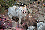 Coyote feeding on elk carcass. Yellowstone National Park, Montana.