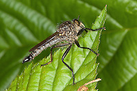 Berg-Raubfliege, Bergraubfliege, Raubfliege, Männchen, Didysmachus picipes, robberfly, Raubfliegen, Mordfliegen, Asilidae, robberflies