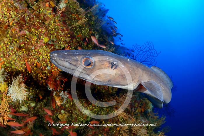 Conger conger, Meeraal im Korallenriff, European conger or Sea eel in Coralreef, Insel Bijelac, Dalmatien, Kroatien, Island Bijelac, Adriatic Sea, Mediterranean Sea, Dalmatia, Croatia