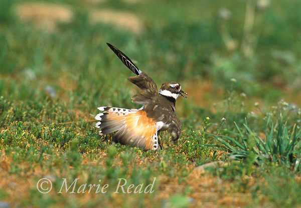 Killdeer (Charadrius vociferus) performing anti-predator distraction display (feigning wing injury) near its nest, New York USA<br /> Slide # B52-221