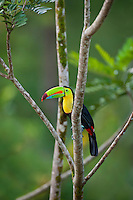 Wild Keel-billed Toucan (Ramphastos sulfuratus), also known as Sulfur-breasted Toucan or Rainbow-billed Toucan.  Found from southern Mexico south through Central America into northern South America.  These photos are from Costa Rica.