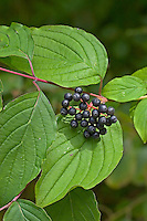 Blutroter Hartriegel, Frucht, Früchte, Cornus sanguinea, Common Dogwood, Dogberry, fruit, Cornouiller sanguin