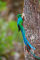 resplendent quetzal, Pharomachrus mocinno, adult male with an insect at nest, Costa Rica, Central America