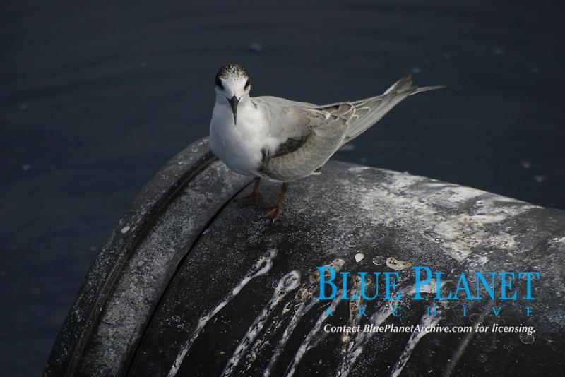 bird, roseate tern, Sterna dougallii, resting empty barrel, Azores Island, Portugal, North Atlantic