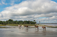 Ferrel horses of Cumberland Island wander the salt marshes on the south end of the island.