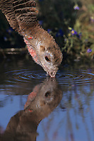 Wild Turkey, Meleagris gallopavo, female drinking, Lake Corpus Christi, Texas, USA, April 2003