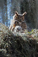 Nesting great horned owl and chick