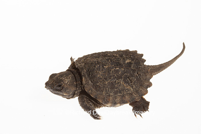 30050-00102 Snapping Turtle (Chelydra serpentina) young on white background, Marion Co., IL