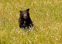 Baby black bear cub in a field of flowers in Yosemite, Calif.